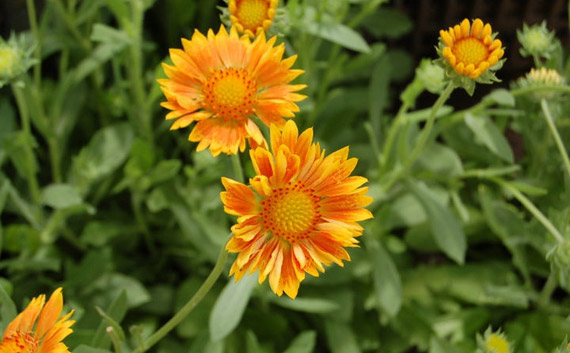 Gaillardia Oranges and Lemons